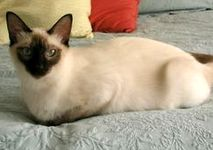 Balinese Cat breeders, you may