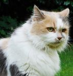 Maine Coon cats, kittens, breeders at CatsForYou com