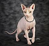 Sphynx cats for sale, Sphynx kittens for sale, Sphynx cat