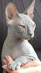 Donsko Sphynx kittens for sale