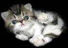 Persian Cats, Persian Kittens, and Persian cat breeders at