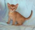 Abyssinian kittens for sale