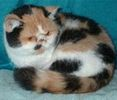 Exotic Shorthair kittens for sale