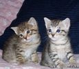 Pixiebob kittens for sale