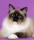 Ragdoll kitens for sale California