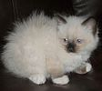 Ragdoll kittens for sale Pennsylvania
