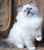 Ragdoll kittens Massachusetts