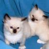 Ragdoll kittens for sale Virginia