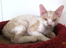 Devon Rex kittens for sale