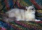Ragdoll kittens for sale Kentucky