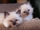 Ragdolls kittens for sale