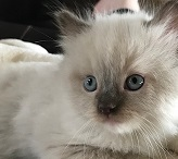 Ragdoll kittens for sale, Ragdoll cats for sale and Ragdoll