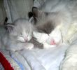 Ragdoll kittens for sale North Carollina