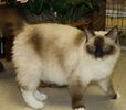 Ragdoll kittens for sale Indiana
