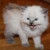 Ragdoll kittens for sale Georgia