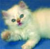 Persian kittens Massachusetts