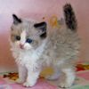 Ragdoll kittens for sale Louisiana